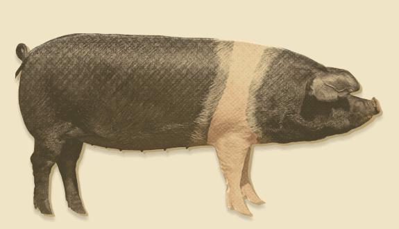 Pig breeds   Love Pork